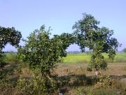 सोनतलाई के पास सरसों का उद्यान और पेड़ों का मेहराबदार दरवाजा।