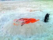 कोई अपने प्रिय जानवर को रात में दफना गया है गंगाजी की रेती में। यह काला कुकुर खोदने का प्रयास कर रहा है कब्र।