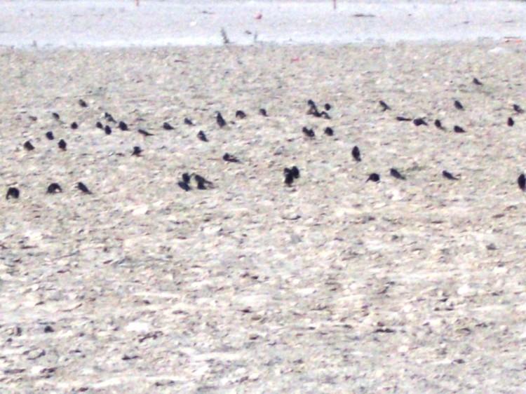 रेत में नहाती काली चिड़ियां।