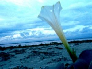 धतूरे का फूल - सांझ के धुंधलके में
