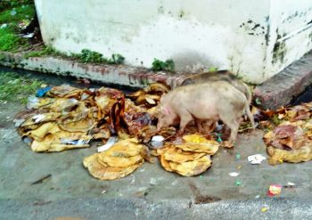सफाई कर्मी न होने पर सूअर हाथ बटाते हैं!