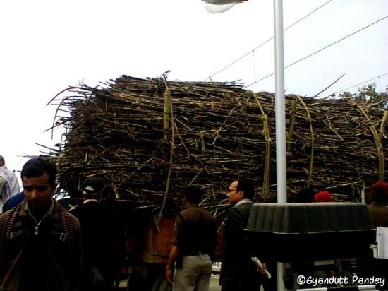 गन्ने की फसल तैयार है और कट रही है। यह ट्रॉली गन्ने से लदी जाती देखी मैने गोण्डा के पास।
