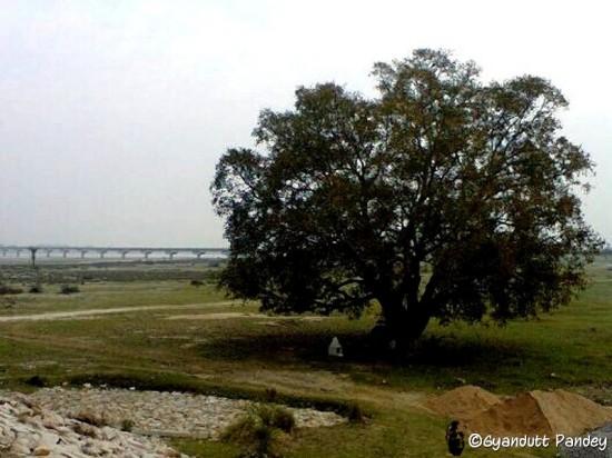 घाघरा कछार में बड़ा पाकड़ का वृक्ष