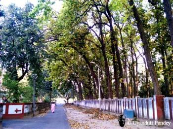 शाल वृक्ष
