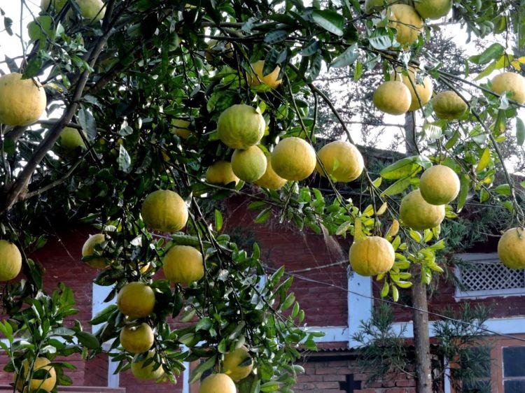 गांव में नीबू जैसे फल का झाड़।