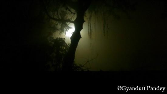 कोहरे में चीड़ के पेड़ का तना।