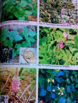 """""""विन्ध्य की वनस्पतियों का पारम्परिक ज्ञान' पुस्तक में चित्रों की एक प्लेट।"""