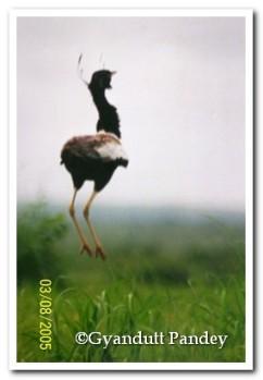 उछाल लेता खरमोर पक्षी।