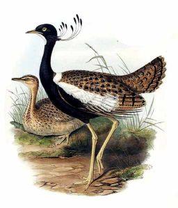 खरमोर - The Lesser Florican का जॉन गोल्ड (1804-1881) का पब्लिक डोमेन में उपलब्ध एक चित्र।