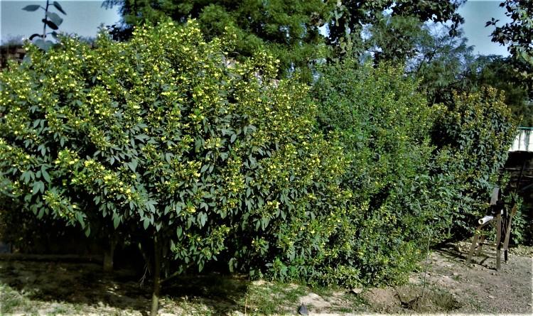 अरहर के पौधे। आठ-दस फुट के। फूलों से लदे।
