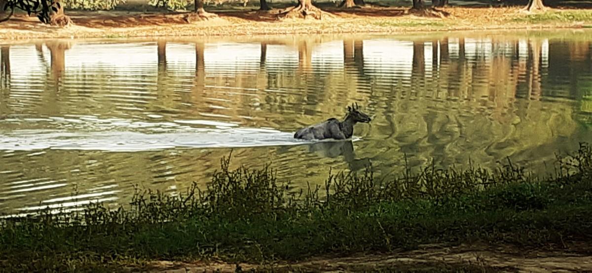 तालाब में फंसी घायलनीलगाय