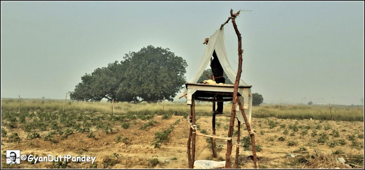 गोविंद लॉकडाउन में बम्बई से लौट तीन बीघा मेंं टमाटर उगा रहेहैं