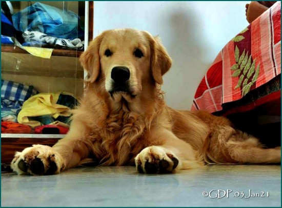 Golden Retriever, Dog,